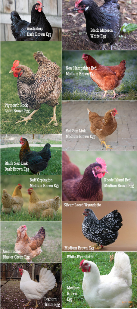 Chicken breeds and eggs